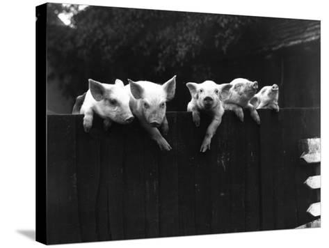 Wall Pigs--Stretched Canvas Print