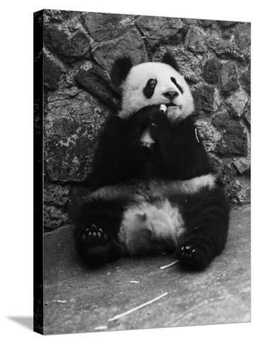Panda Lunchtime--Stretched Canvas Print