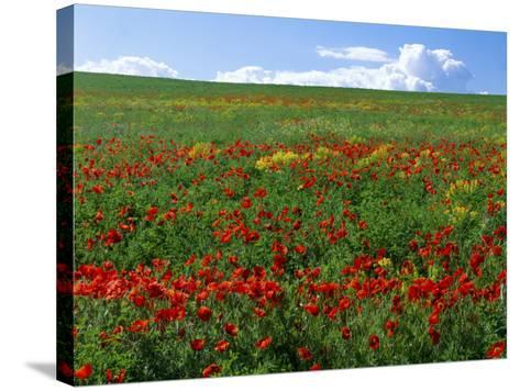Naturalized Corn Poppies, Cache Valley, Utah, USA-Scott T^ Smith-Stretched Canvas Print
