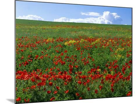 Naturalized Corn Poppies, Cache Valley, Utah, USA-Scott T^ Smith-Mounted Photographic Print