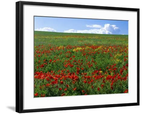 Naturalized Corn Poppies, Cache Valley, Utah, USA-Scott T^ Smith-Framed Art Print