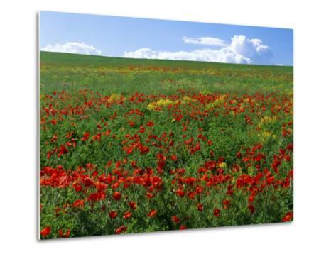 Naturalized Corn Poppies, Cache Valley, Utah, USA-Scott T^ Smith-Metal Print