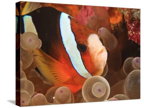 Anemonefish, Tukang Besi/Wakatobi Archipelago Marine Preserve, South Sulawesi, Indonesia-Stuart Westmorland-Stretched Canvas Print