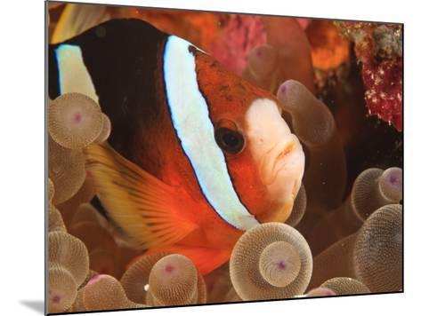 Anemonefish, Tukang Besi/Wakatobi Archipelago Marine Preserve, South Sulawesi, Indonesia-Stuart Westmorland-Mounted Photographic Print