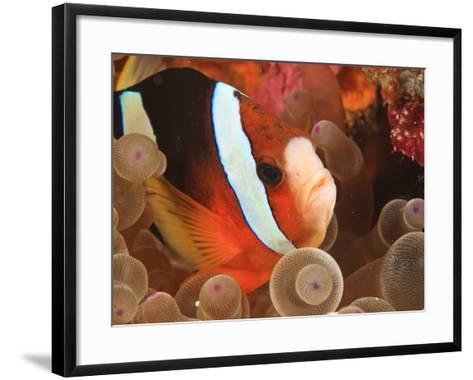 Anemonefish, Tukang Besi/Wakatobi Archipelago Marine Preserve, South Sulawesi, Indonesia-Stuart Westmorland-Framed Art Print