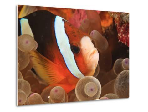 Anemonefish, Tukang Besi/Wakatobi Archipelago Marine Preserve, South Sulawesi, Indonesia-Stuart Westmorland-Metal Print