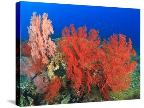 Brilliant Red Sea Fans, Komba Island, Flores Sea, Indonesia-Stuart Westmorland-Stretched Canvas Print