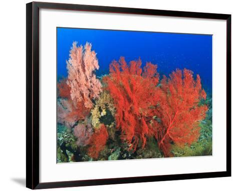 Brilliant Red Sea Fans, Komba Island, Flores Sea, Indonesia-Stuart Westmorland-Framed Art Print