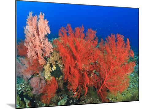 Brilliant Red Sea Fans, Komba Island, Flores Sea, Indonesia-Stuart Westmorland-Mounted Photographic Print