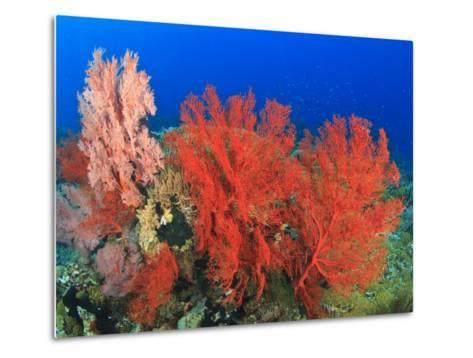 Brilliant Red Sea Fans, Komba Island, Flores Sea, Indonesia-Stuart Westmorland-Metal Print