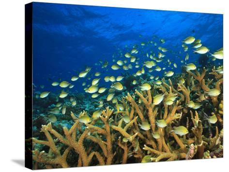 Schooling Damselfish, North Huvadhoo Atoll, Southern Maldives, Indian Ocean-Stuart Westmorland-Stretched Canvas Print