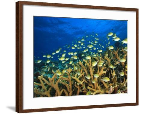 Schooling Damselfish, North Huvadhoo Atoll, Southern Maldives, Indian Ocean-Stuart Westmorland-Framed Art Print