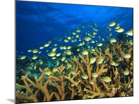 Schooling Damselfish, North Huvadhoo Atoll, Southern Maldives, Indian Ocean-Stuart Westmorland-Mounted Photographic Print