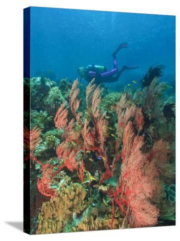 Scuba Diver and Sea Fans, Raja Ampat, Papua-Stuart Westmorland-Stretched Canvas Print