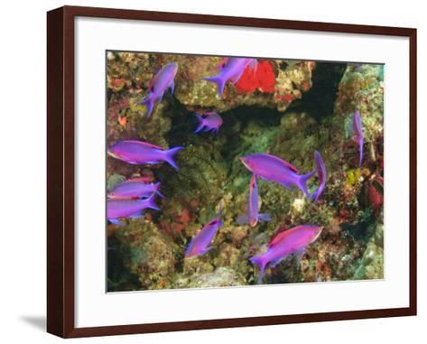 Fairy Basslets in Milne Bay, Papua New Guinea-Stuart Westmorland-Framed Art Print