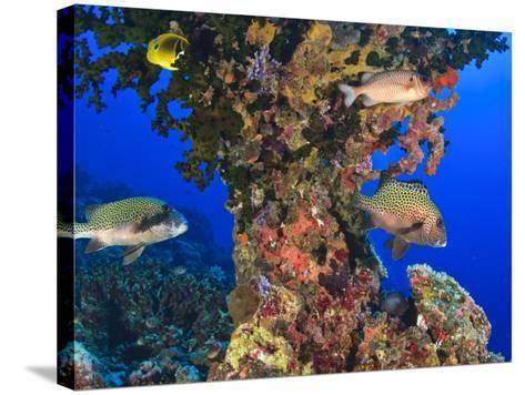 Harlequin Sweetlips, Butterflyfish and Glasseye, Palau, Micronesia-Stuart Westmorland-Stretched Canvas Print