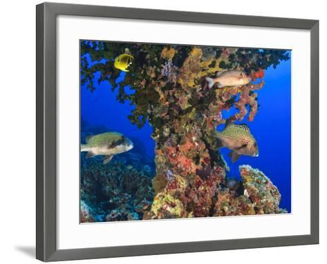 Harlequin Sweetlips, Butterflyfish and Glasseye, Palau, Micronesia-Stuart Westmorland-Framed Art Print