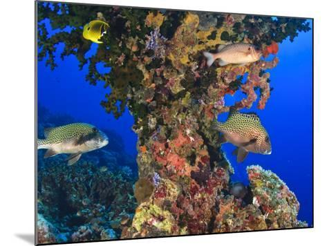 Harlequin Sweetlips, Butterflyfish and Glasseye, Palau, Micronesia-Stuart Westmorland-Mounted Photographic Print