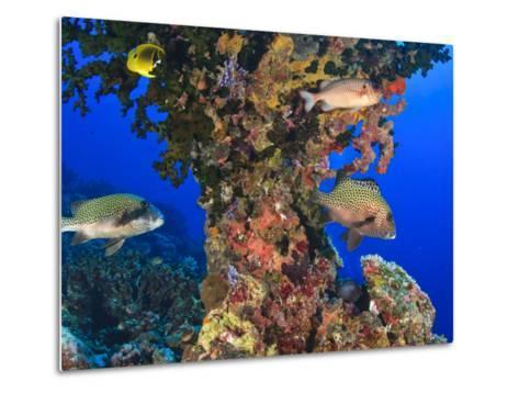 Harlequin Sweetlips, Butterflyfish and Glasseye, Palau, Micronesia-Stuart Westmorland-Metal Print