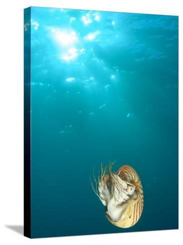 Chambered Nautilus Swimming Near Gnemelis Dropoff, Palau, Micronesia-Stuart Westmorland-Stretched Canvas Print