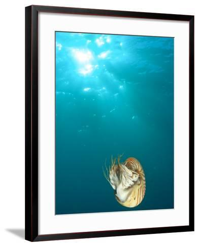 Chambered Nautilus Swimming Near Gnemelis Dropoff, Palau, Micronesia-Stuart Westmorland-Framed Art Print