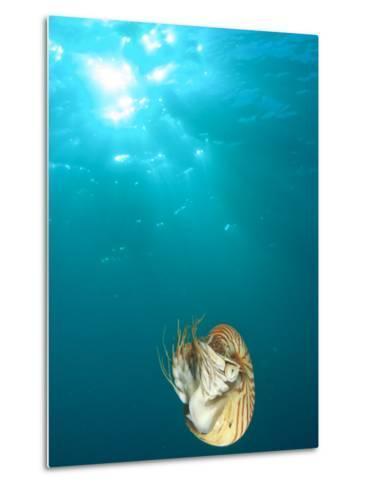 Chambered Nautilus Swimming Near Gnemelis Dropoff, Palau, Micronesia-Stuart Westmorland-Metal Print