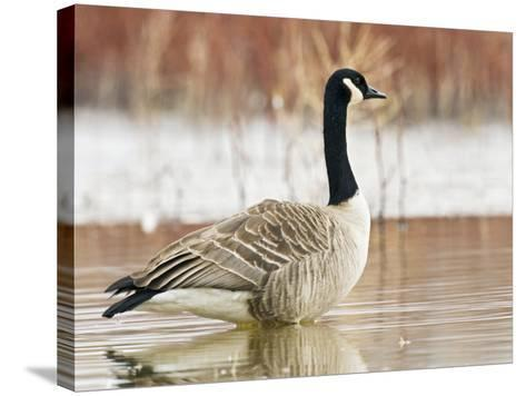 Canada Goose Standing in a Still Marsh-Larry Ditto-Stretched Canvas Print