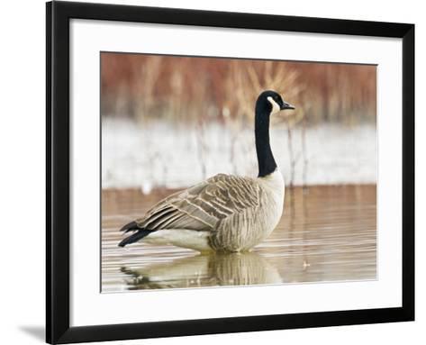 Canada Goose Standing in a Still Marsh-Larry Ditto-Framed Art Print