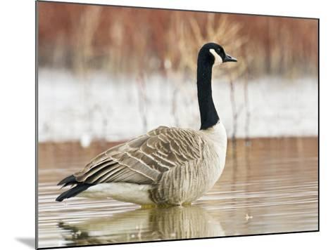 Canada Goose Standing in a Still Marsh-Larry Ditto-Mounted Photographic Print