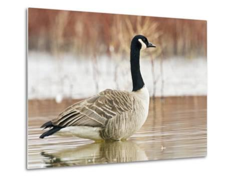 Canada Goose Standing in a Still Marsh-Larry Ditto-Metal Print