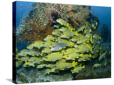 Schooling Sweetlip Fish Swim Past Coral Reef, Raja Ampat, Indonesia-Jones-Shimlock-Stretched Canvas Print