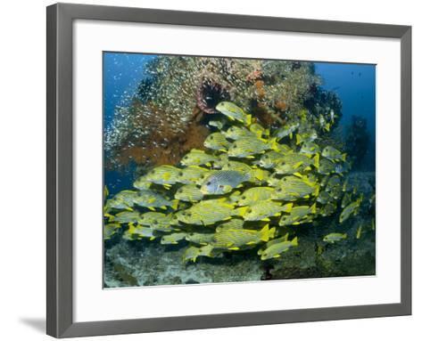 Schooling Sweetlip Fish Swim Past Coral Reef, Raja Ampat, Indonesia-Jones-Shimlock-Framed Art Print