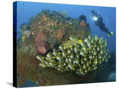 Diver and Schooling Sweetlip Fish Next To Reef, Raja Ampat, Papua, Indonesia-Jones-Shimlock-Stretched Canvas Print