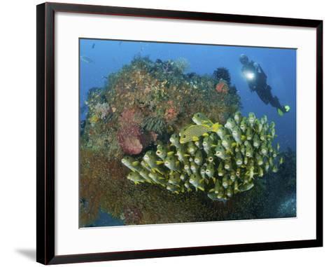 Diver and Schooling Sweetlip Fish Next To Reef, Raja Ampat, Papua, Indonesia-Jones-Shimlock-Framed Art Print