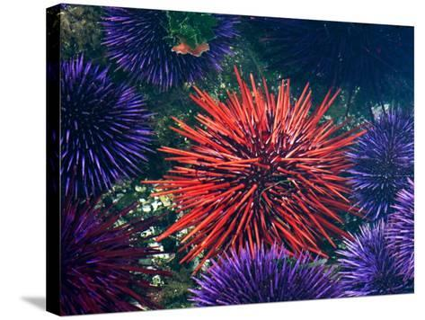 Tide Pool With Sea Urchins, Olympic Peninsula, Washington, USA-Charles Sleicher-Stretched Canvas Print