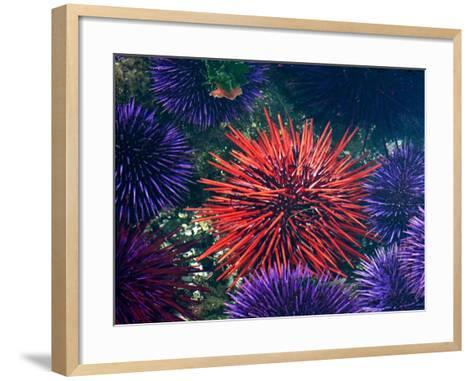 Tide Pool With Sea Urchins, Olympic Peninsula, Washington, USA-Charles Sleicher-Framed Art Print