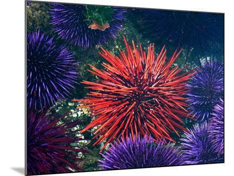Tide Pool With Sea Urchins, Olympic Peninsula, Washington, USA-Charles Sleicher-Mounted Photographic Print