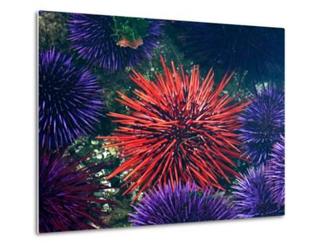 Tide Pool With Sea Urchins, Olympic Peninsula, Washington, USA-Charles Sleicher-Metal Print