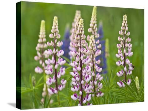 Field of Blooming Lupine Flowers and Bee, Acadia National Park, Maine, USA-Nancy Rotenberg-Stretched Canvas Print