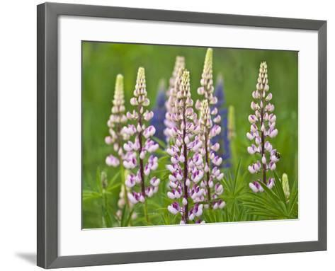 Field of Blooming Lupine Flowers and Bee, Acadia National Park, Maine, USA-Nancy Rotenberg-Framed Art Print