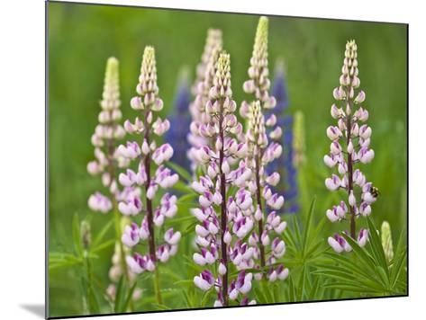 Field of Blooming Lupine Flowers and Bee, Acadia National Park, Maine, USA-Nancy Rotenberg-Mounted Photographic Print