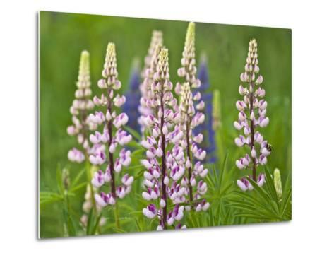 Field of Blooming Lupine Flowers and Bee, Acadia National Park, Maine, USA-Nancy Rotenberg-Metal Print