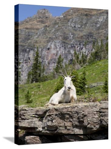 Mountain Goat on Rock, Logan Pass, Glacier National Park, Montana, USA-Jamie & Judy Wild-Stretched Canvas Print