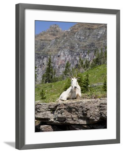 Mountain Goat on Rock, Logan Pass, Glacier National Park, Montana, USA-Jamie & Judy Wild-Framed Art Print