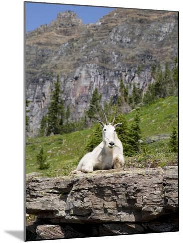 Mountain Goat on Rock, Logan Pass, Glacier National Park, Montana, USA-Jamie & Judy Wild-Mounted Photographic Print