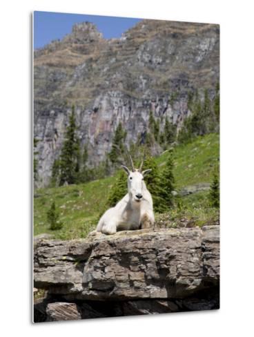 Mountain Goat on Rock, Logan Pass, Glacier National Park, Montana, USA-Jamie & Judy Wild-Metal Print