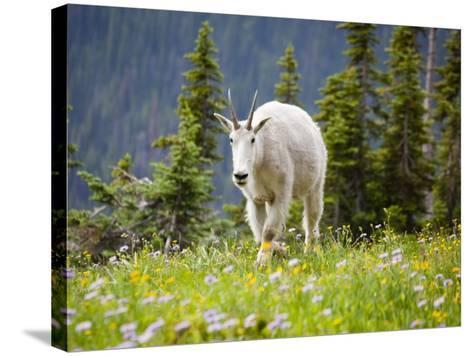 Mountain Goat in Wildflower Meadow, Logan Pass, Glacier National Park, Montana, USA-Jamie & Judy Wild-Stretched Canvas Print