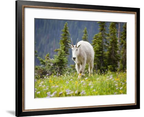 Mountain Goat in Wildflower Meadow, Logan Pass, Glacier National Park, Montana, USA-Jamie & Judy Wild-Framed Art Print