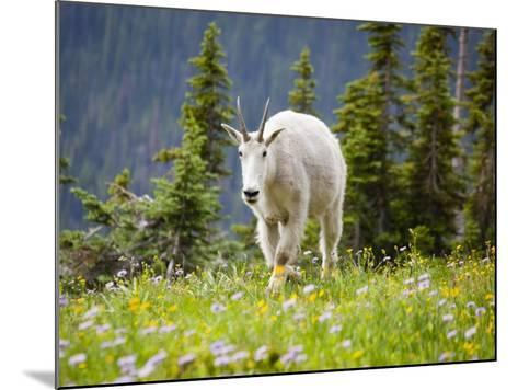 Mountain Goat in Wildflower Meadow, Logan Pass, Glacier National Park, Montana, USA-Jamie & Judy Wild-Mounted Photographic Print