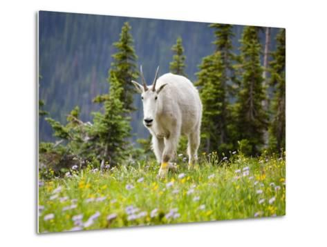 Mountain Goat in Wildflower Meadow, Logan Pass, Glacier National Park, Montana, USA-Jamie & Judy Wild-Metal Print